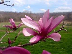 Jake's Magnolia Photo courtesy of Michael E. O'Hara